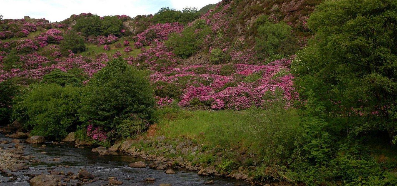 beddgelert-rhododendron-a