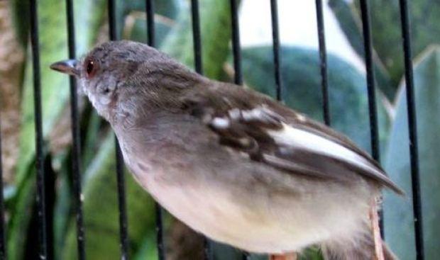 download suara burung ciblek betina