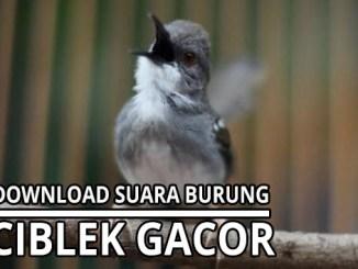 download suara burung ciblek gacor
