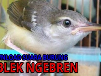 download suara burung ciblek ngebren