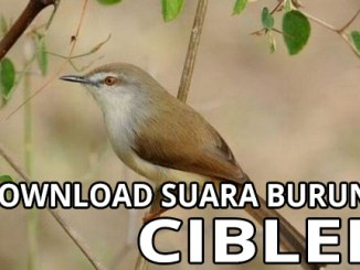 download suara burung ciblek