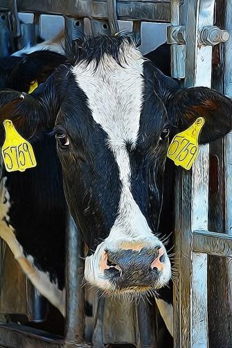 Hopkins' Holstein