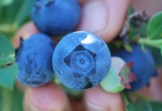star blueberries