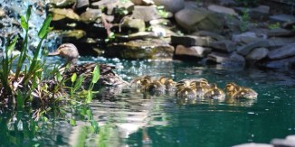 A mother mallard takes her 12 ducklings on their first swim