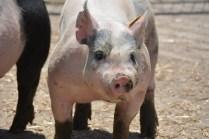 Delawware 4-H Farm Pig