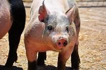 Farm pig (TangledFX)
