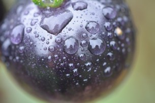 Purple tomato after rain