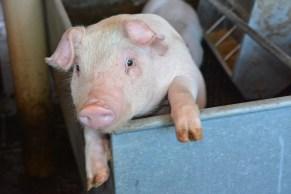 Piggy pose