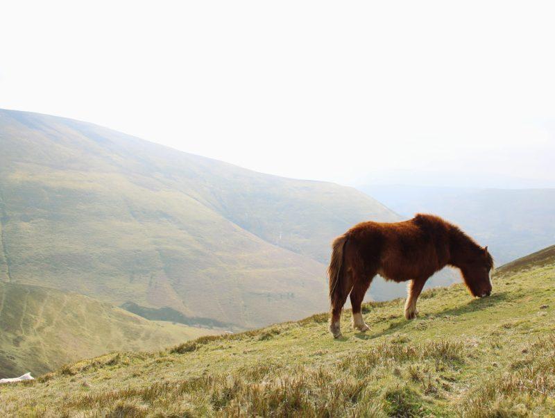 les poneys gallois
