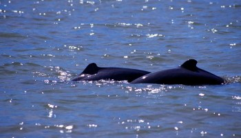 Irrawaddy dolphin vins in Kratie, Cambodia