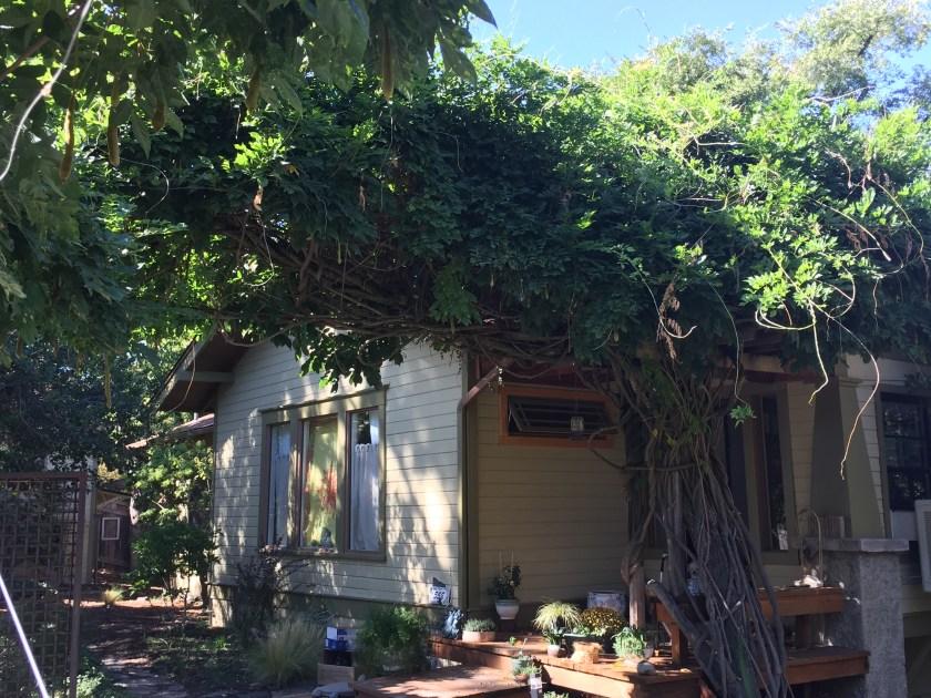 Ashland, wisteria