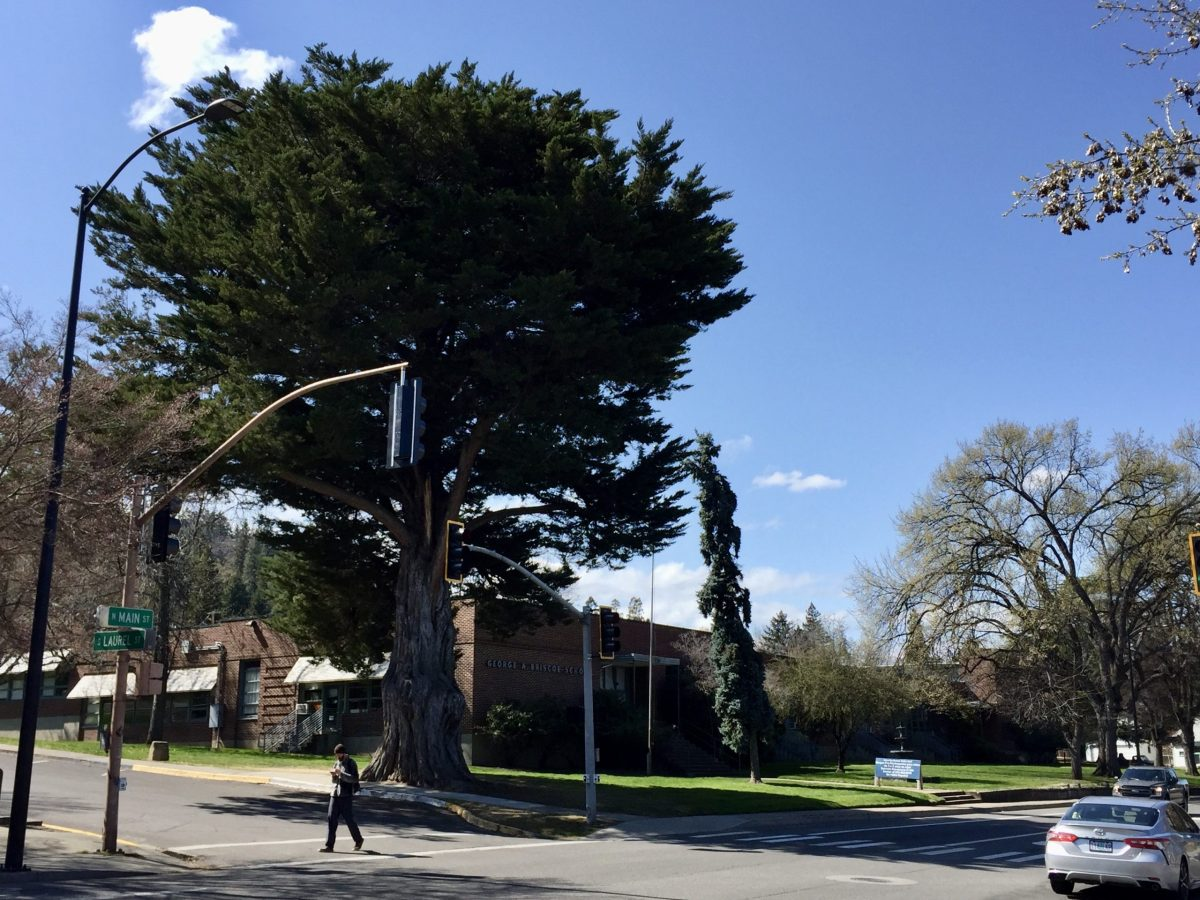 Tree of the Year 1988: Monterey Cypress