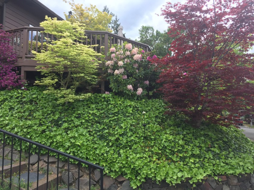 Japanese maple trees and rhododendrons