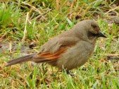 Grayish Baywing (Agelaioides badius)