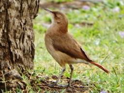 Rufous Hornero (Furnarius rufus), the national bird of Argentina