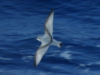 Antarctic Prion (Pachyptila desolata)