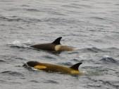 Type B2 Killer Whales (Orcinus orca)