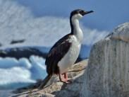 Antarctic Shag (Phalacrocorax bransfieldensis)