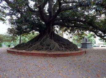 Rubber Fig (Ficus elastica)