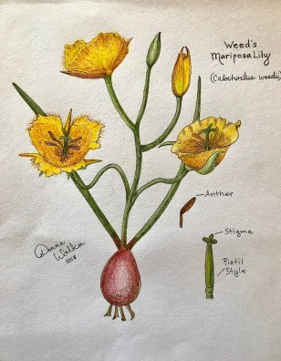 Weed's Mariposa Lily grows in California's local chaparral. It's such a beautiful flower; chosen for my recent Sip & Sketch drawing class held at the Elfin Forest in Escondido, CA.