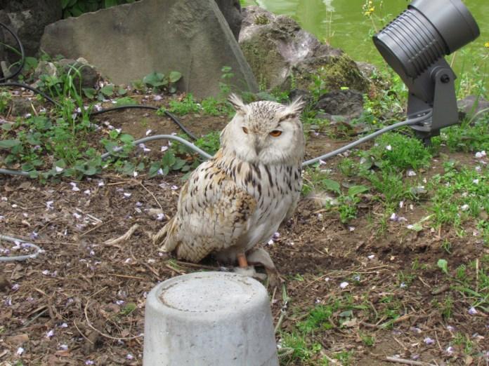 Owl in Kameido Shrine