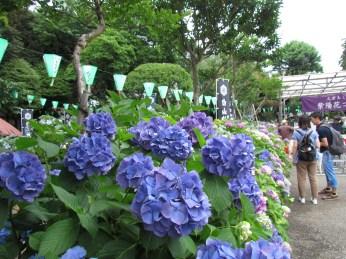 Hydrangea in Hakusan Jinja Shrine