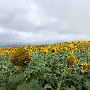 Sunflowers in Akeno-cho