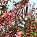 Cherry blossoms and high-rise residential building