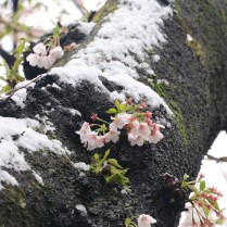 cherry blossoms and snow