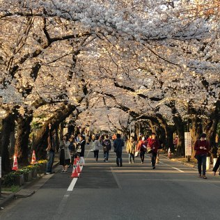 Cherry Blossoms in Yanaka Cemetery