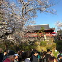 Cherry Blossoms and Shimizu Kannon-do Temple