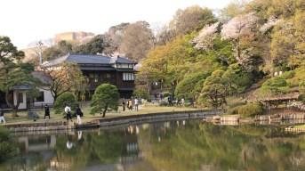 Cherry Blossoms in Higo Hosokawa Gardens