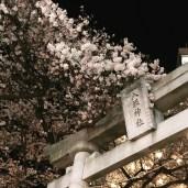 Cherry Blossoms and Shrine