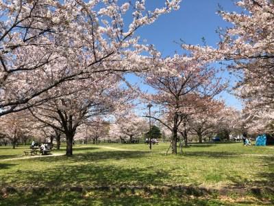 Cherry Blossoms in Toneri Park