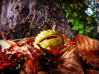 Chestnut - Leafy Loop Walks Durrow