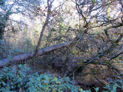 Tree across river - Dunmore Wood.