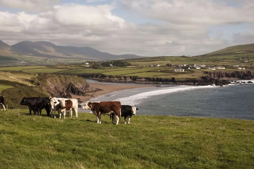Cows grazing near a beach on the Kerry Way