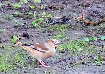 Hawfinch1
