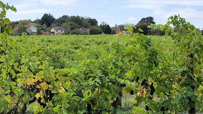 new_hall_vineyard