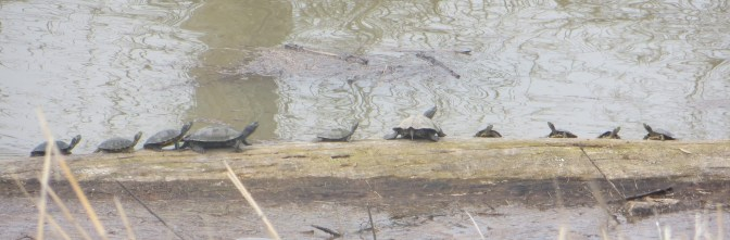 Turtles along the Mississippi