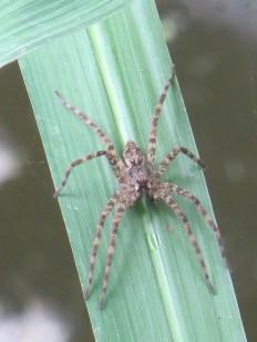 fishing-spider