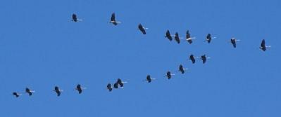 sandhill-cranes5