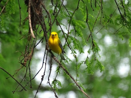 Prothonotary Warbler6