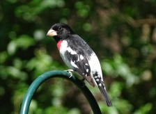 Rose-breasted grosbeak5