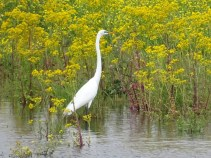 great egret 10