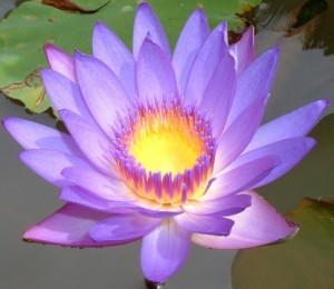 lotus-flower-fb