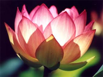 lotusawakening