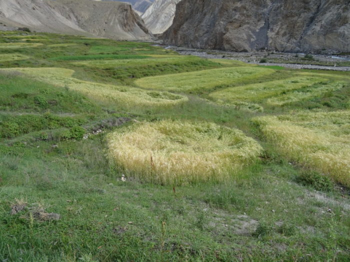 crop circle in leh leh