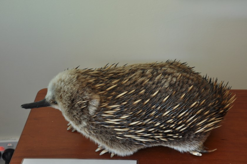 Echidna at the Tamar Island Information Centre