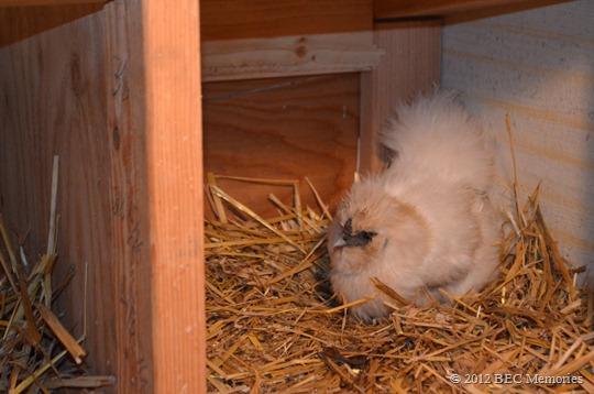 chicken midwifery